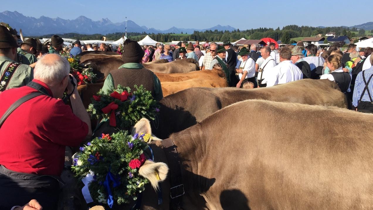 Besucher des Viehmarktes tummeln sich um die Rinder