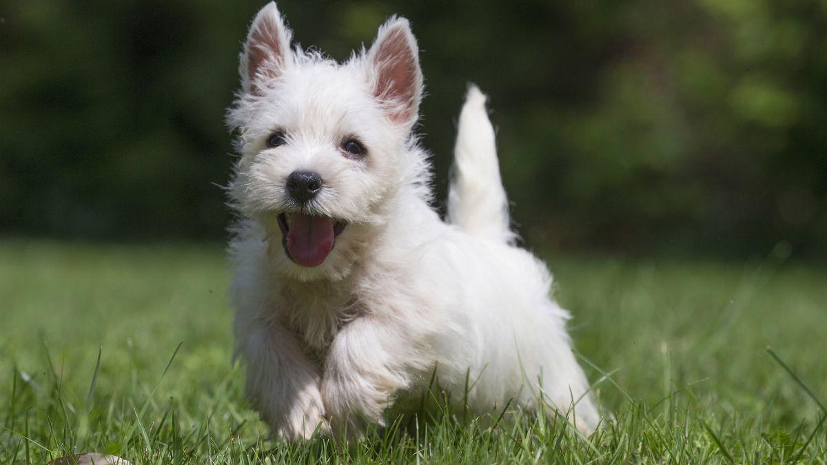 West Highland Terrier läuft über eine Wiese