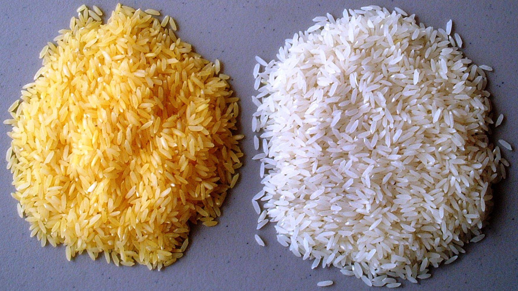 """""""Goldener Reis"""", also gentechnisch veränderter Reis mit mehr Vitamin A, liegt neben herkömmlichem weißen Reis."""