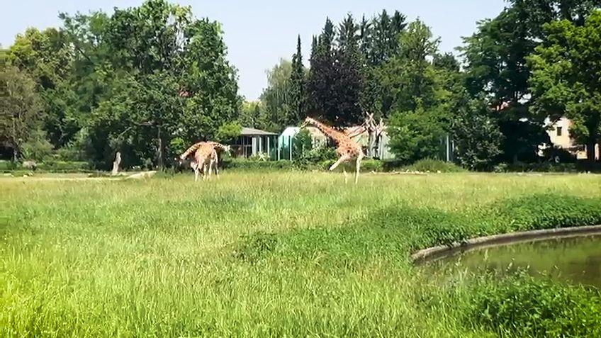 Premiere auf dem Rasen: Giraffendame Gaya hat zum ersten Mal das Gras im Augsburger Zoo betreten.