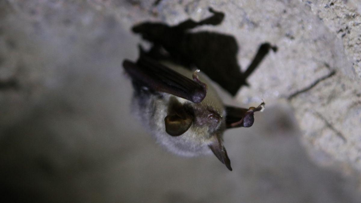 Fledermaus: Großes Mausohr in einer Höhle