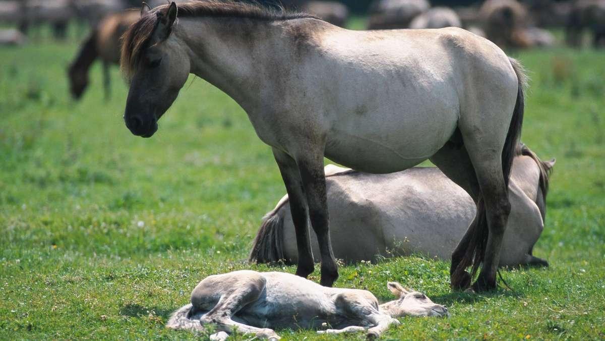 Pferde ruhen im Liegen - beherrschen aber auch das Dösen im Stehen.