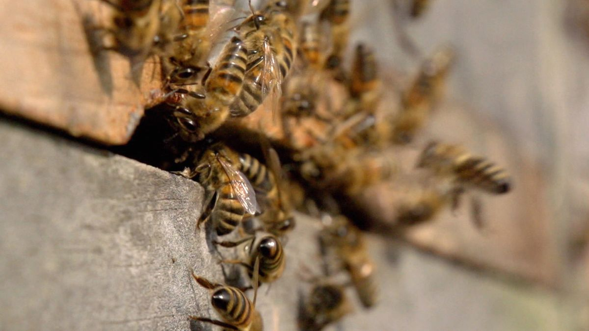 Am Weltbienentag der Vereinten Nationen weist der Imkerbund darauf hin, dass wegen Klimawandel, Flächenversiegelung und Pestiziden in der Landwirtschaft 300 Wildbienenarten als gefährdet gelten.