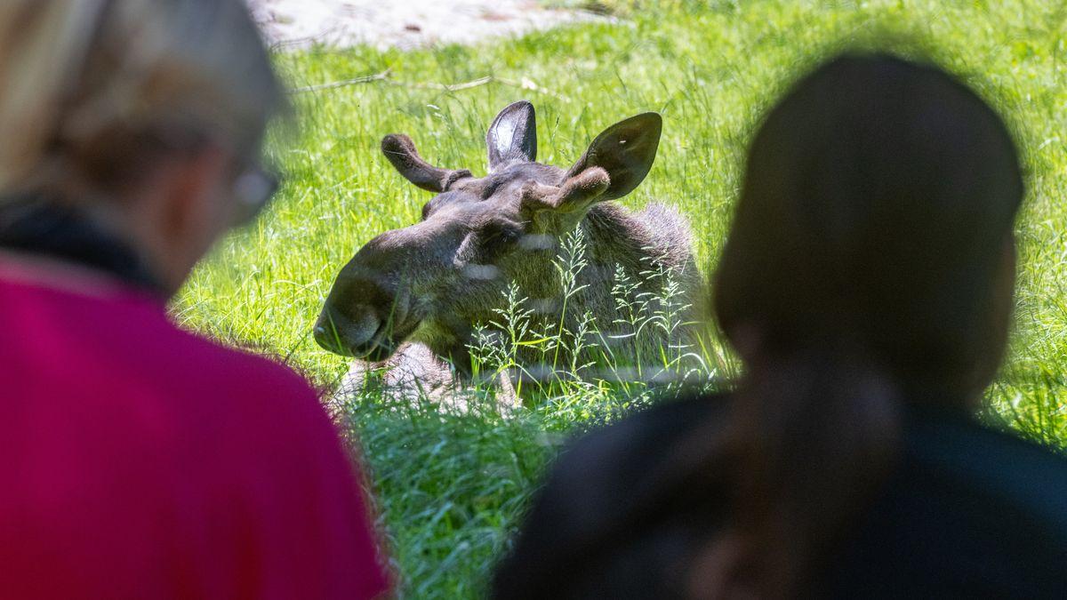 Besucher bekommen Elche im Tiergehege zu sehen