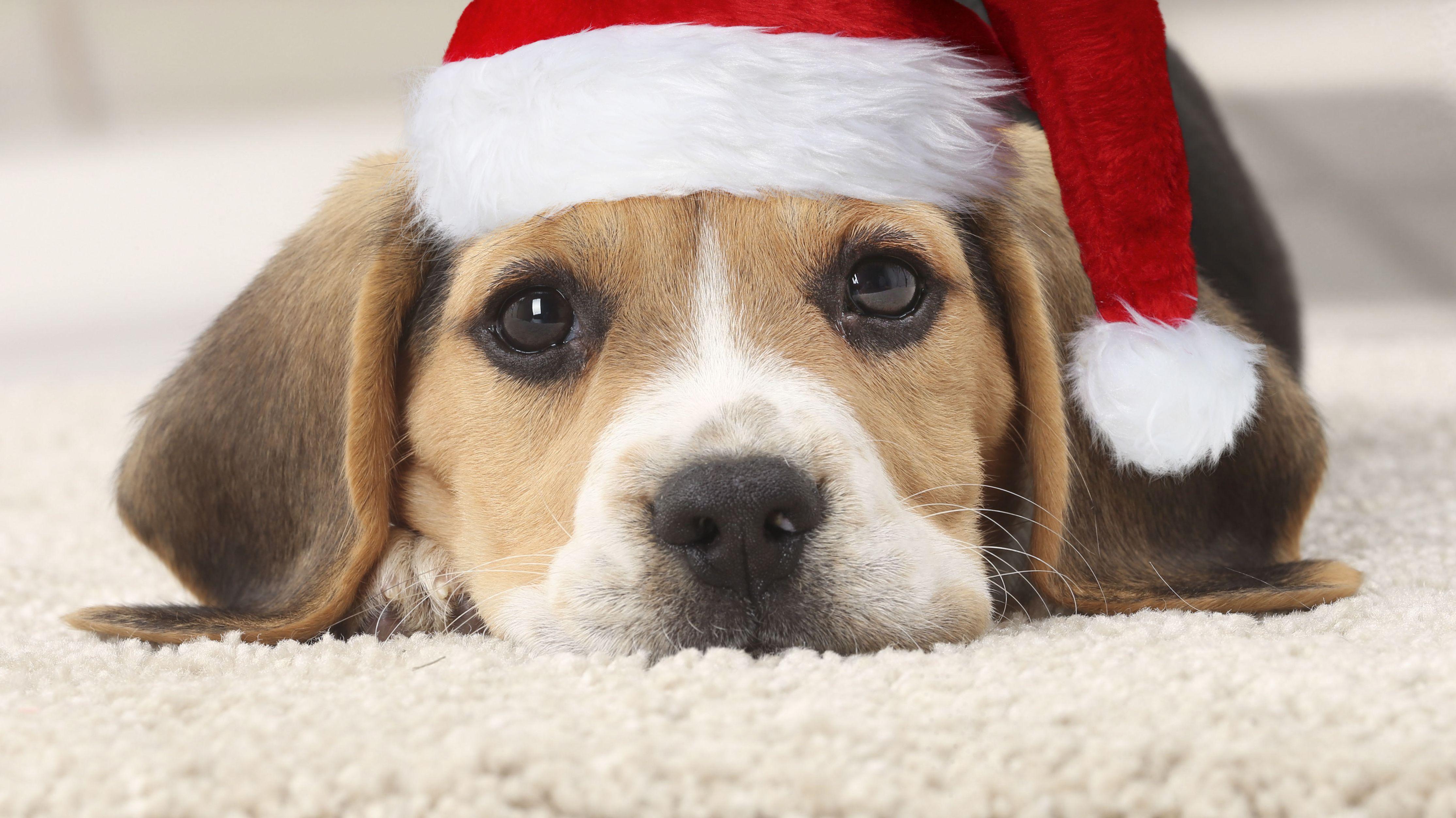 Hund mit Nikolausmütze liegt auf dem Teppich