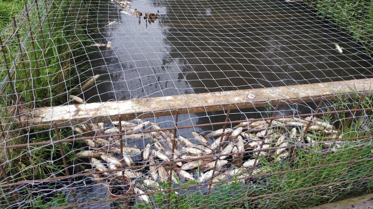 Tote Fische treiben auf der Wasseroberfläche eines Teiches, der mit einem Gitter abgedeckt ist.