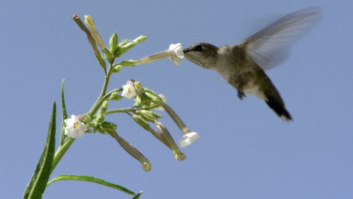 Ein Kolibri saugt Nektar aus der Blüte eines Wilden Tabaks.