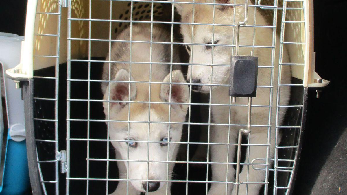 Junge Hunde in einer Box