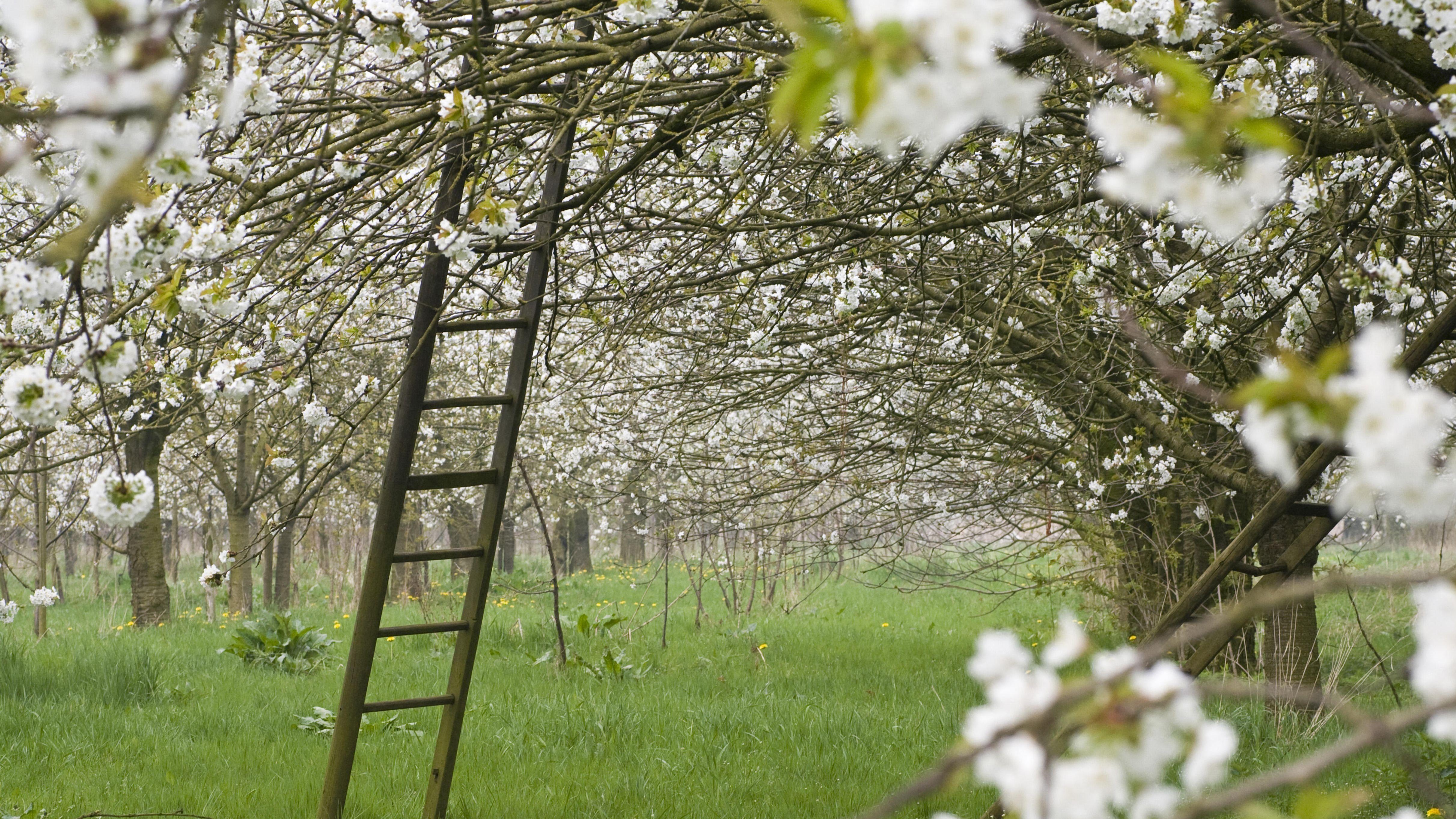 Symbolbild einer Streuobstiwese mit blühenden Kirschbäumen