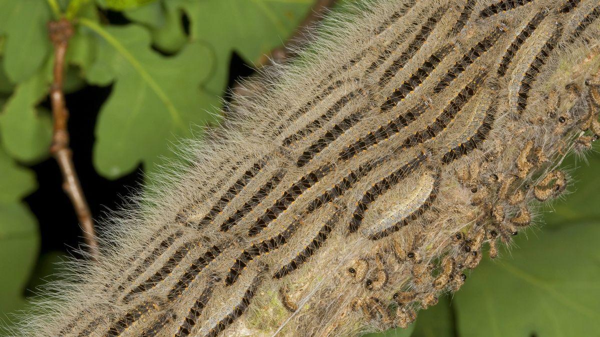 Eichenprozessionsspinner marschieren in langen Prozessionen aus ihren Gespinstnestern heraus hinauf in die Äste der Eiche, um zu fressen.