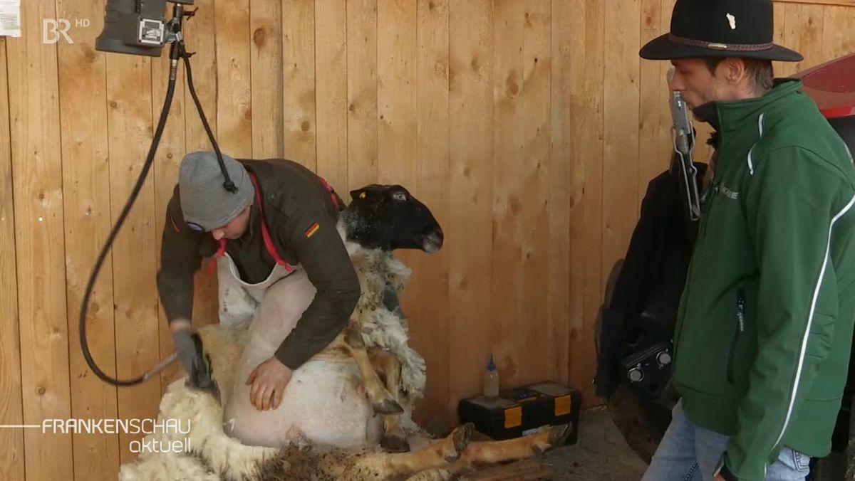 Schaf wird geschoren.