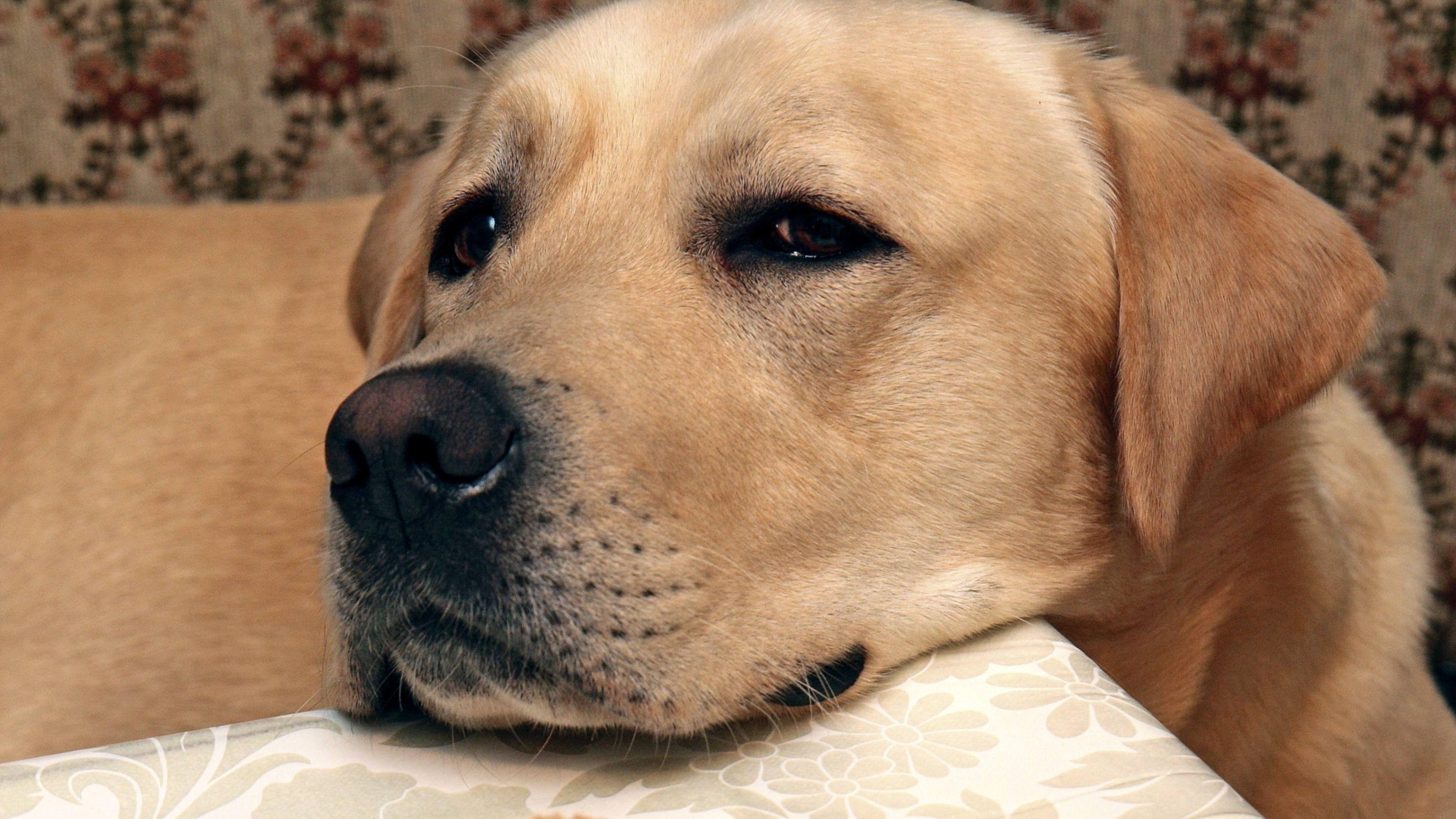 Labrador Retriever legt Kopf auf den frühstückstisch