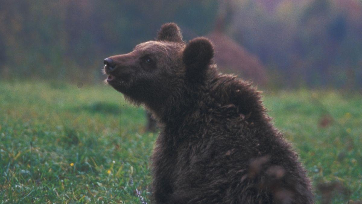 Ein Braunbär (Archivbild).