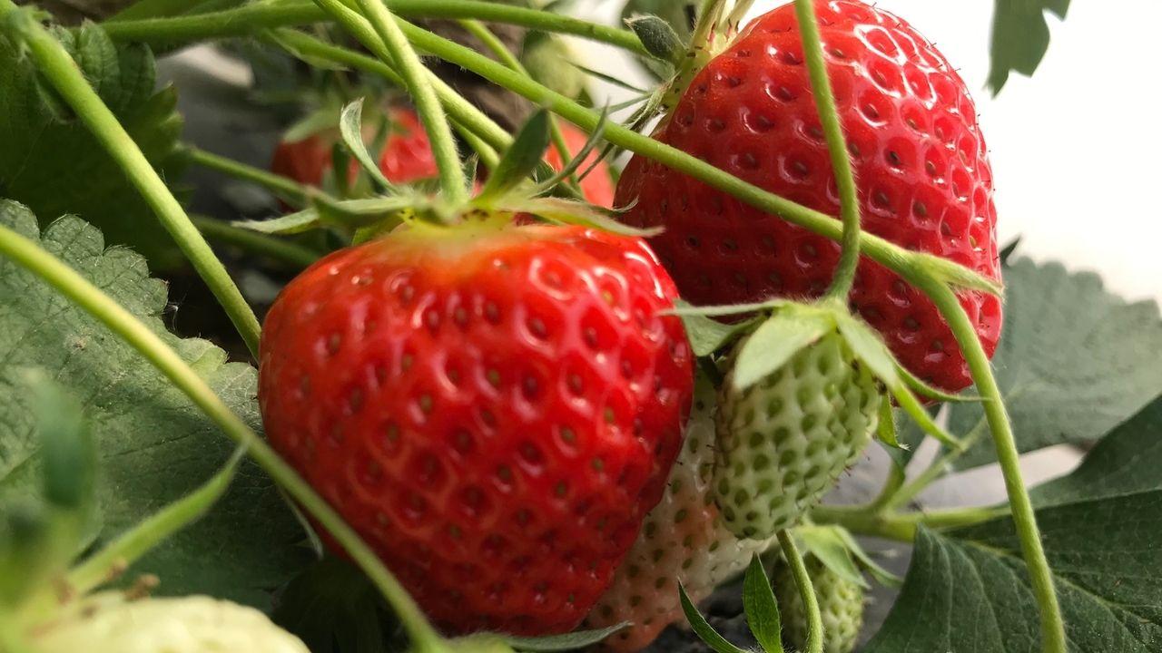 Reife und unreife Bodensee-Erdbeeren
