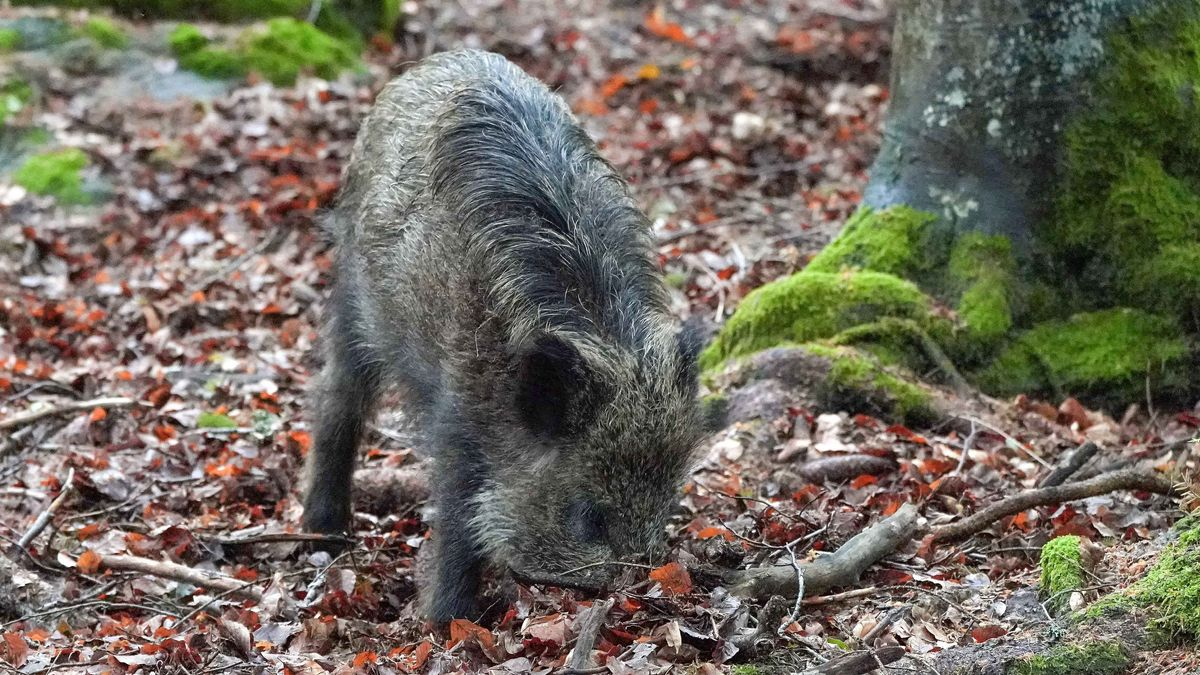 Wildschwein gräbt im Waldboden nach Eicheln und Bucheckern