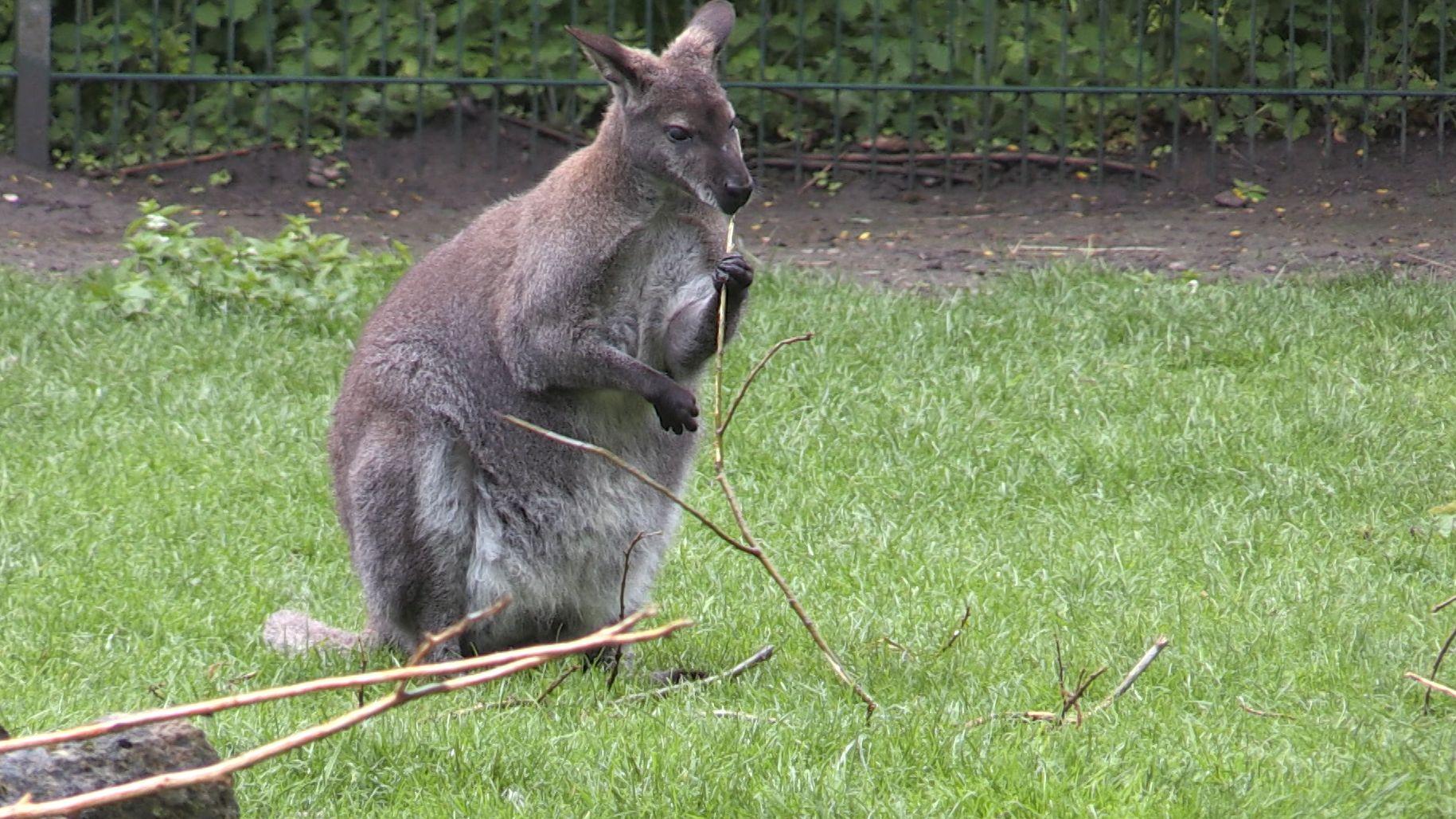 Dieses Känguru wohnt zwar auch in Schwaben - aber nicht im Wald, sondern im Augsburger Zoo