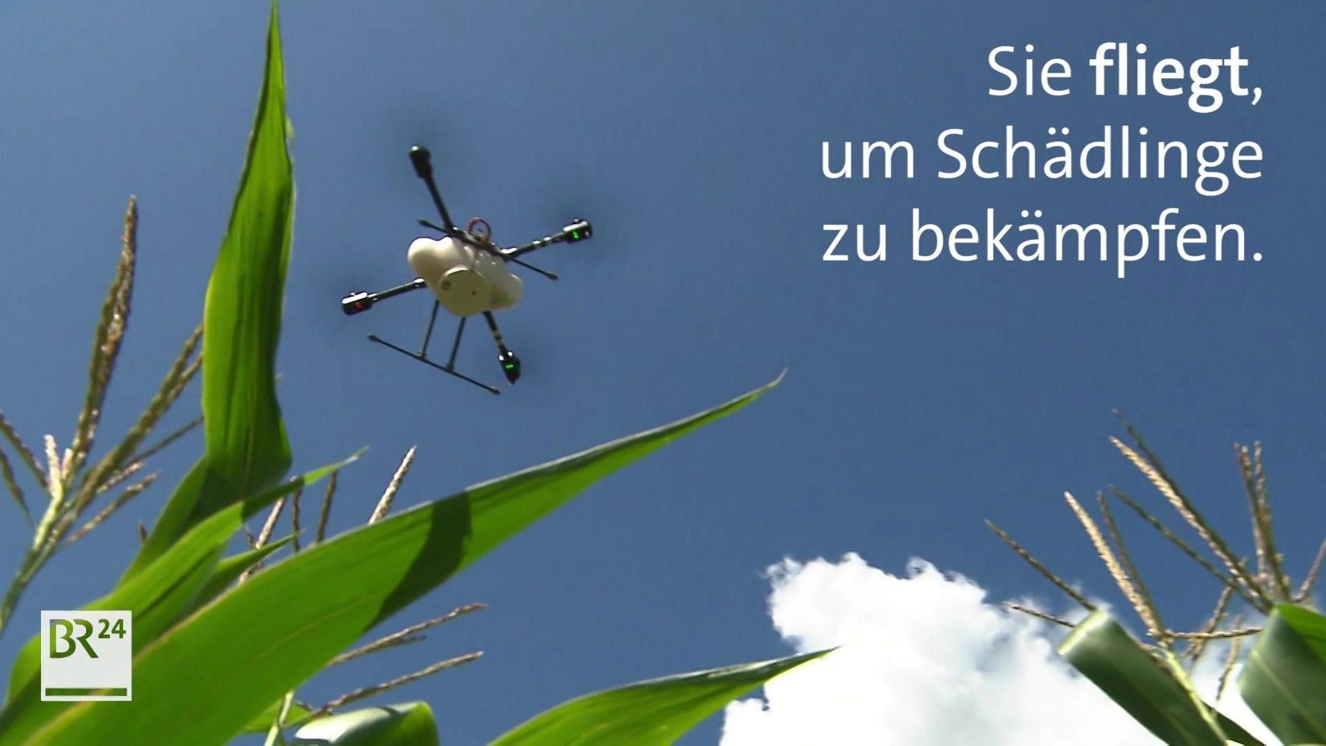 Blick von unten auf eine Drohne, die über ein Maisfeld fliegt.
