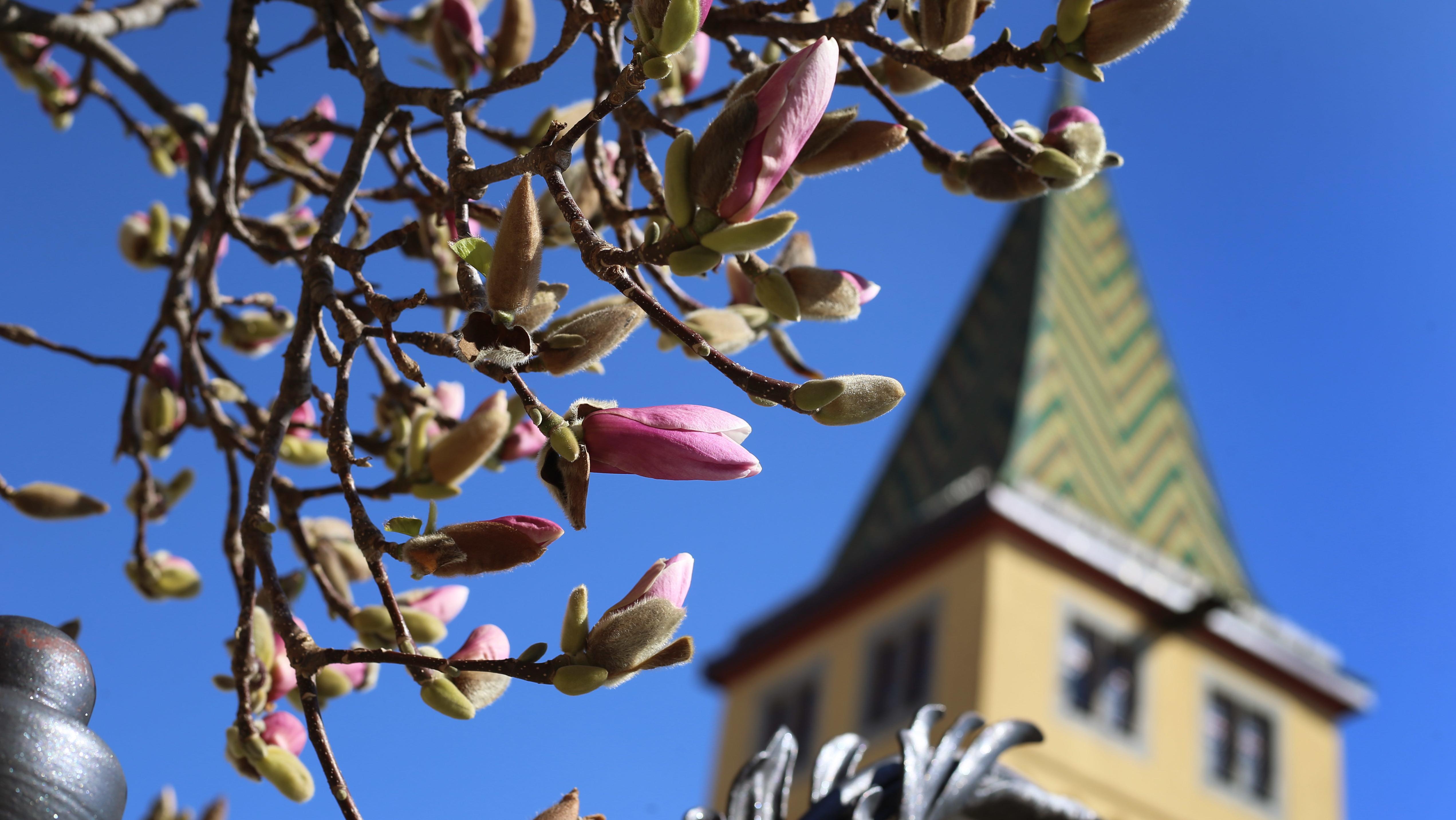 Frühling am Bodensee - die Magnolien sind kurz vor dem Aufblühen