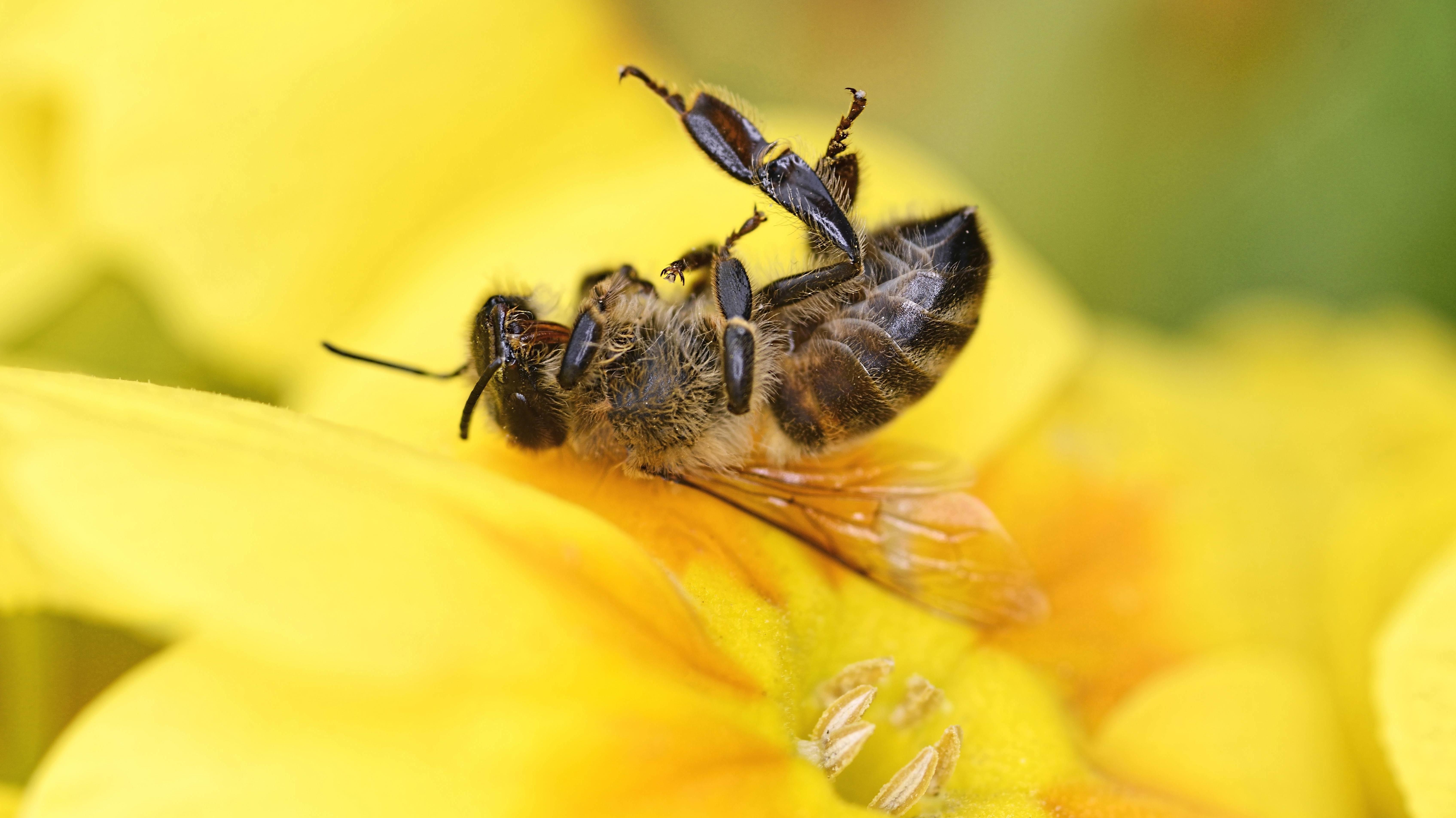 Tote Honigbiene auf einer Blüte