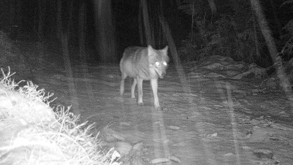 Wolf Wildtierkamera