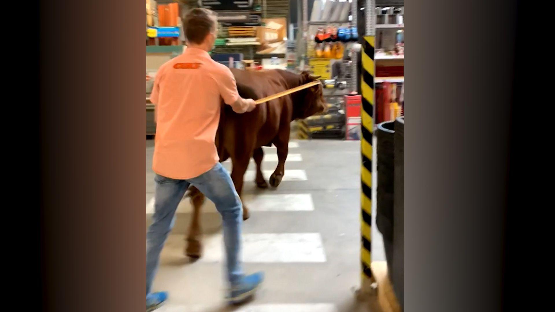 Raublinger Stier unternimmt Baumarkt-Ausflug
