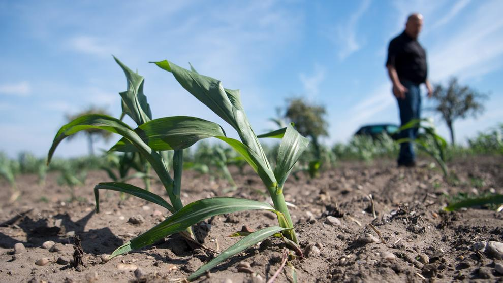 Landwirt auf Feld mit verdorrten Pflanzen   Bild:dpa-Bildfunk/Monika Skolimowska