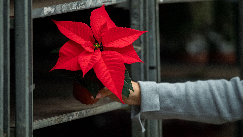Weihnachtsstern oder Herbststern? Streit um imaginierte Islamisierung