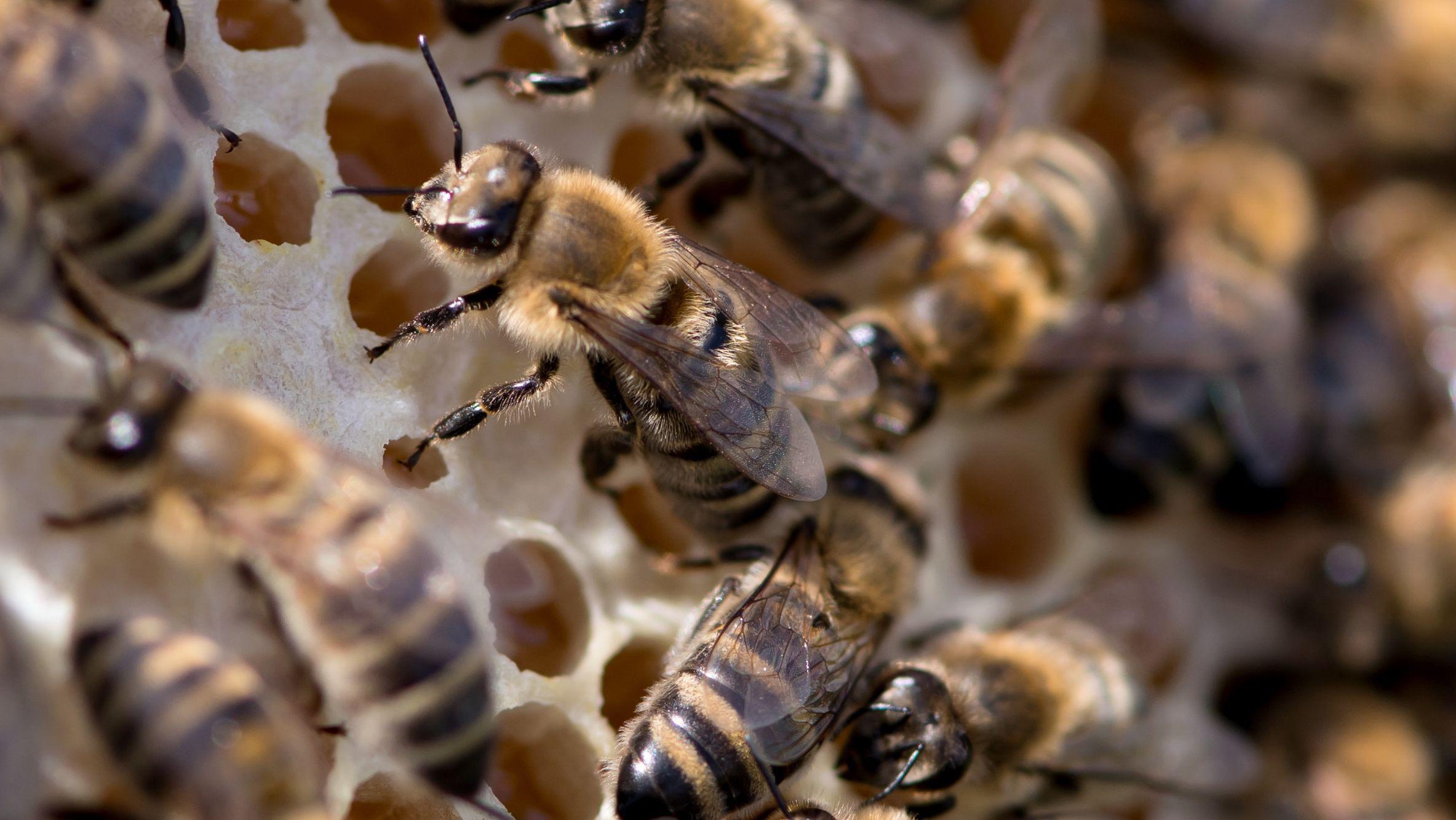 Bienen sitzen auf einer Wabe.