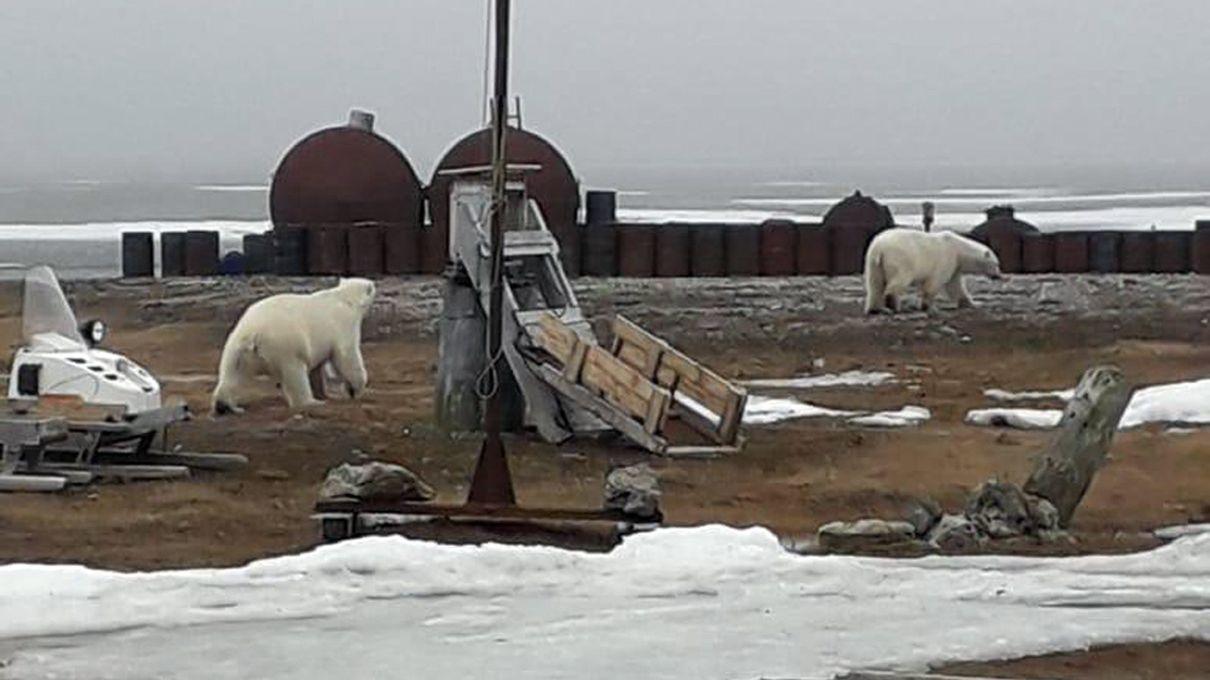17.07.2019, Russland, Tschuktschen-Halbinsel: Zwei umherstreunende Eisbären (vom WWF am 12.08.2019 zur Verfügung gestellt)