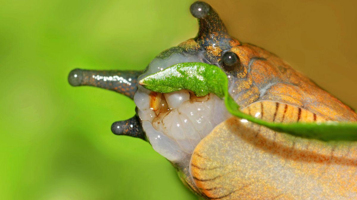 Eine Schnecke lässt sich ein Blatt schmecken (Nahaufnahme)