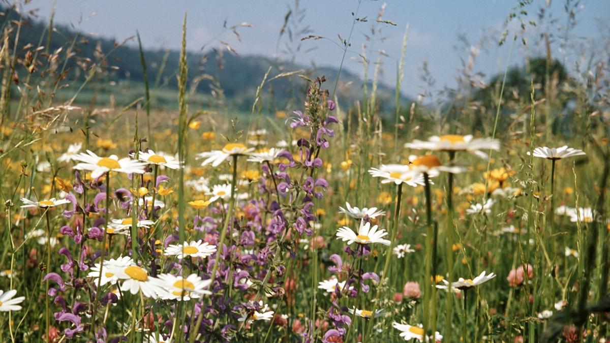Blühende Wiesenpflanzen und -blumen