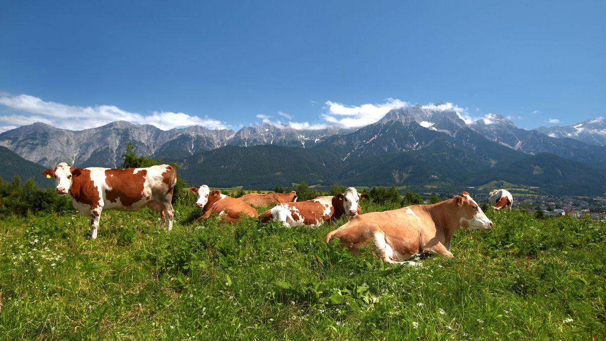 Braun-weiß gefleckte Milchkühe liegen auf einer grünen Wiese, dahinter das Alpenpanorama