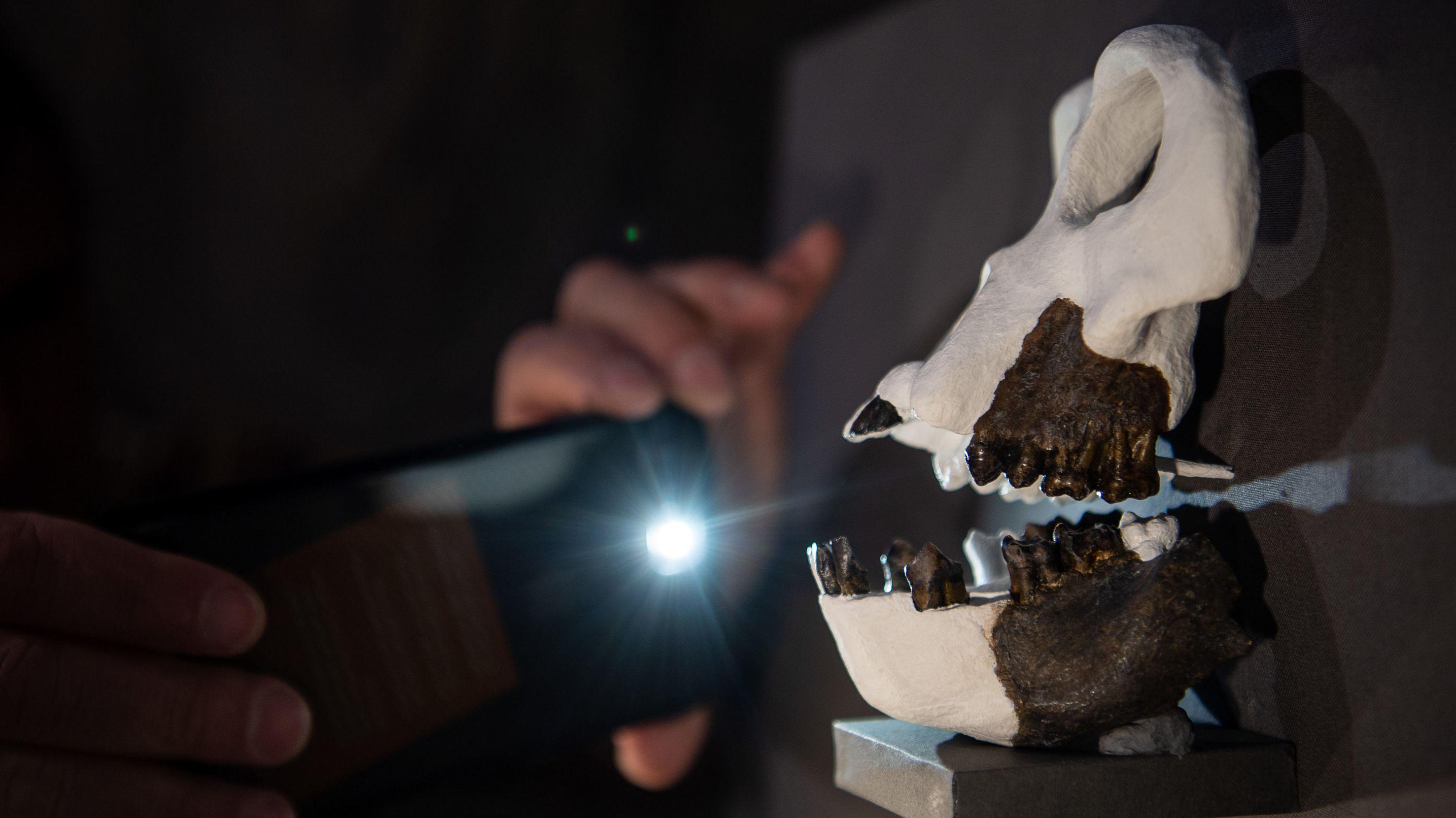Ein Mann fotografiert die Rekonstruktion des Schädels der bisher unbekannten Primatenart Danuvius guggenmosi.