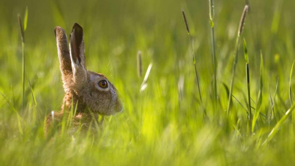 Europäischer Feldhase (Lepus europaeus) im hohen Gras | Bild:picture alliance / blickwinkel