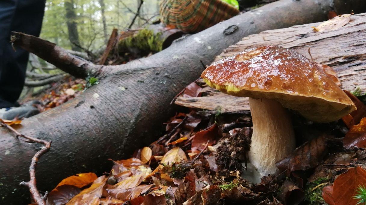 Steinpilze in einem Wald im Spessart.