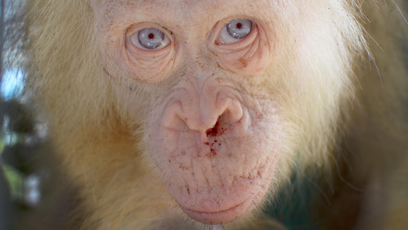"""Die etwa fünf Jahre alte Albino-Orangutan-Dame """"Alba"""" in einer Auffangstation der """"Borneo Orangutan Survival Foundation"""" auf Borneo"""
