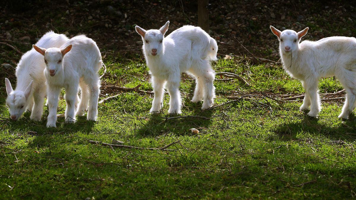 Junge Ziegen auf der Weide
