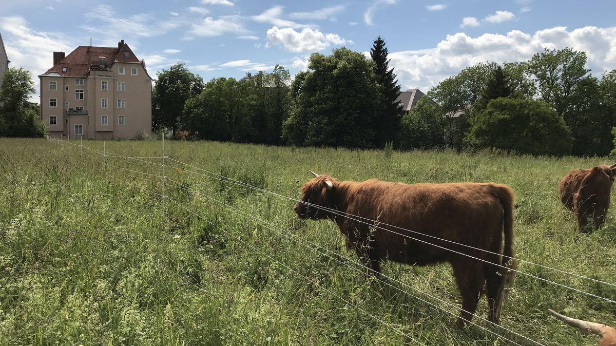 Schottische Hochlandrinder betreiben Denkmalpflege mitten in Augsburg.
