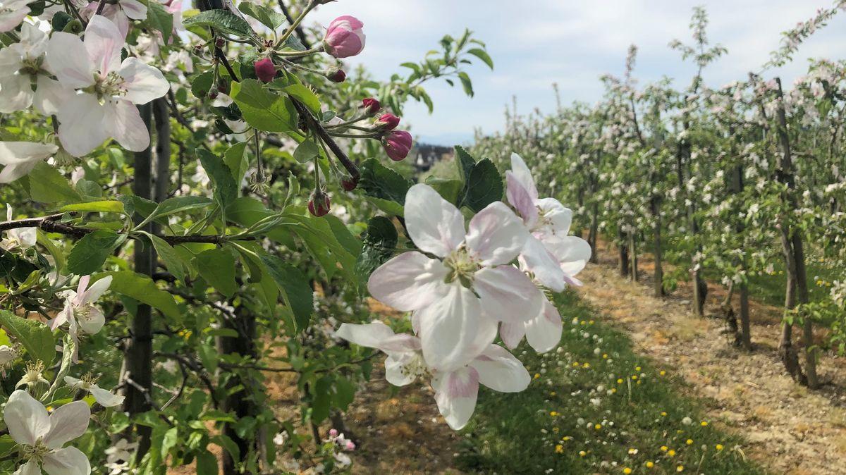 Blühende Apfelbäume auf einer Plantage