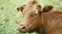 Eine braune Kuh (Symbolbild) | Bild:pa/CHROMORANGE/Barbara Kraske