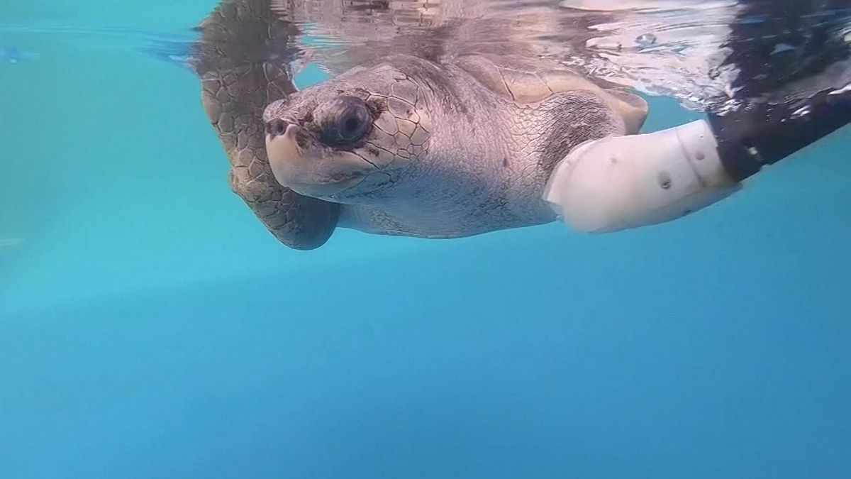 Prothese für Meeresschildkröte.