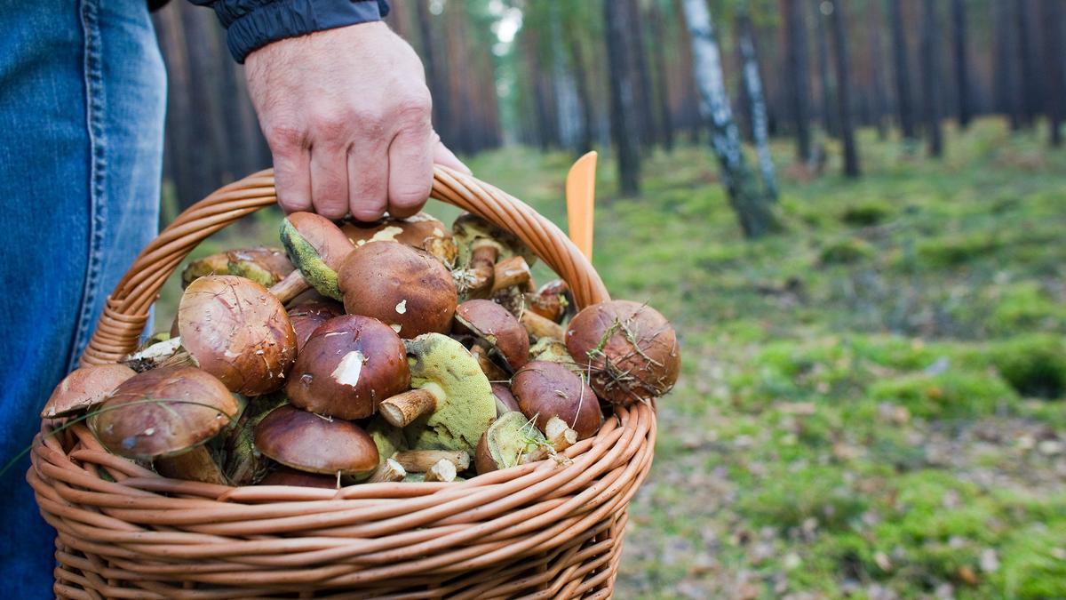 Ein Korb voller Pilze: Wie viele Pilze darf man eigentlich sammeln? Manche Pilze stehen unter Naturschutz.