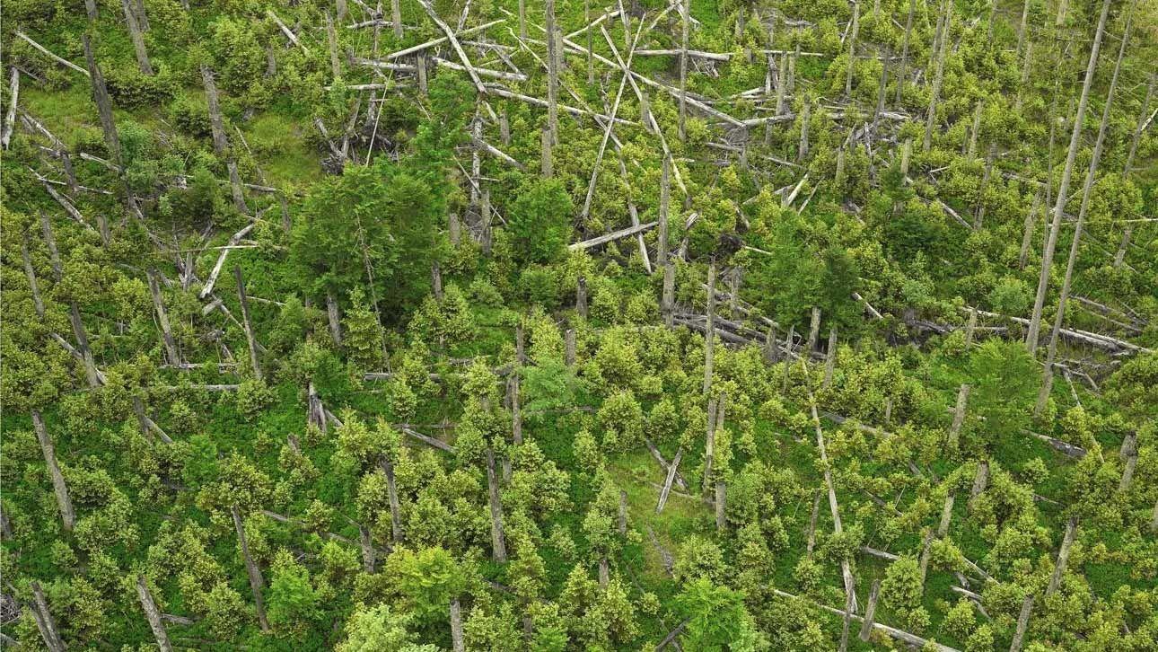 Tote Bäume liegen kreuz und quer im Bayerischen Wald herum
