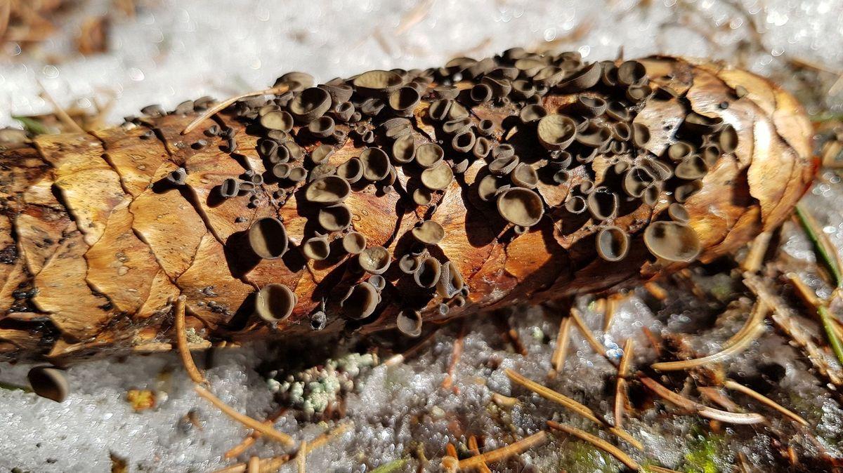 Fichtenzapfen-Becherlinge sind nach der Schneeschmelze häufig zu finden.