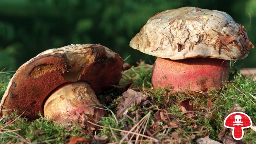 Der Hut des Pilzes ist weiß bis schmutzig olivgrau. Die Poren leuchten rot. Der Stiel ist rundlich mit roter Netzzeichnung. Anfangs riecht er süßlich-fruchtig, später unangenehm.