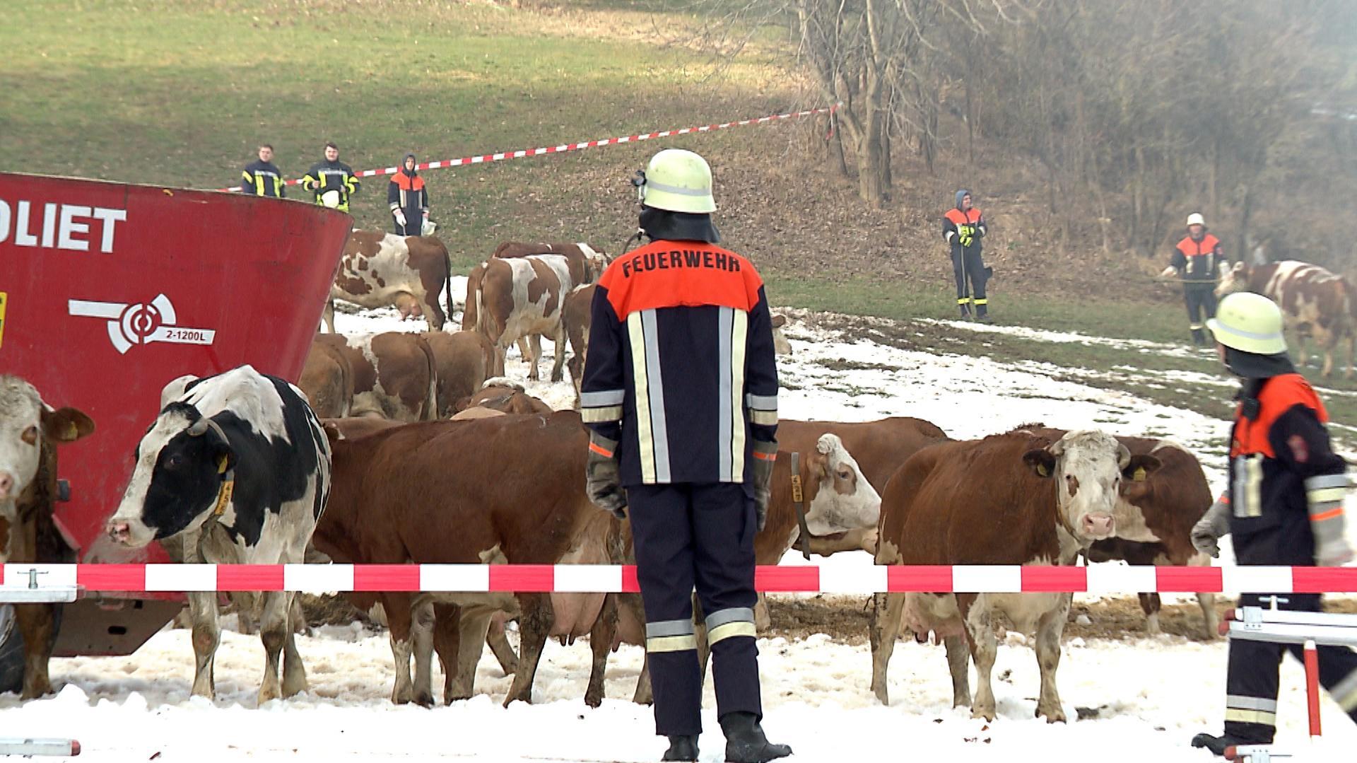 Rund 70 Rinder wurden auf eine Wiese getrieben