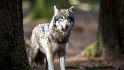 Symbolbild Wolf | Bild:dpa