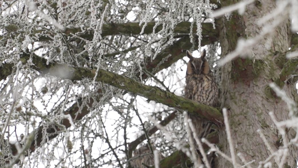 Waldohreule in Baum in Attaching