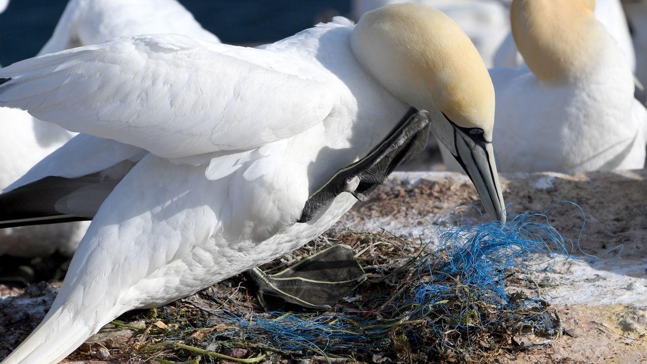 Ein Basstölpel mit Plastik im Nest