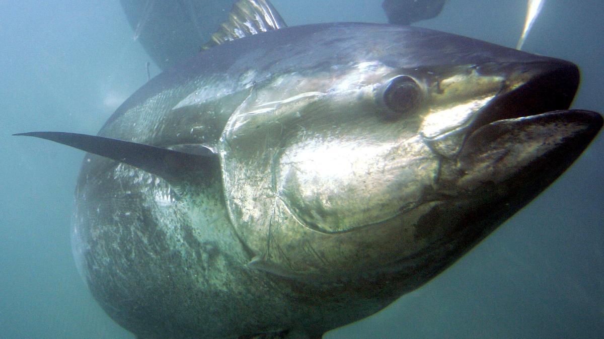 Ein Blauflossenthunfisch - nach wie vor nicht geschützt durch das Washingtoner Artenschutzabkommen.